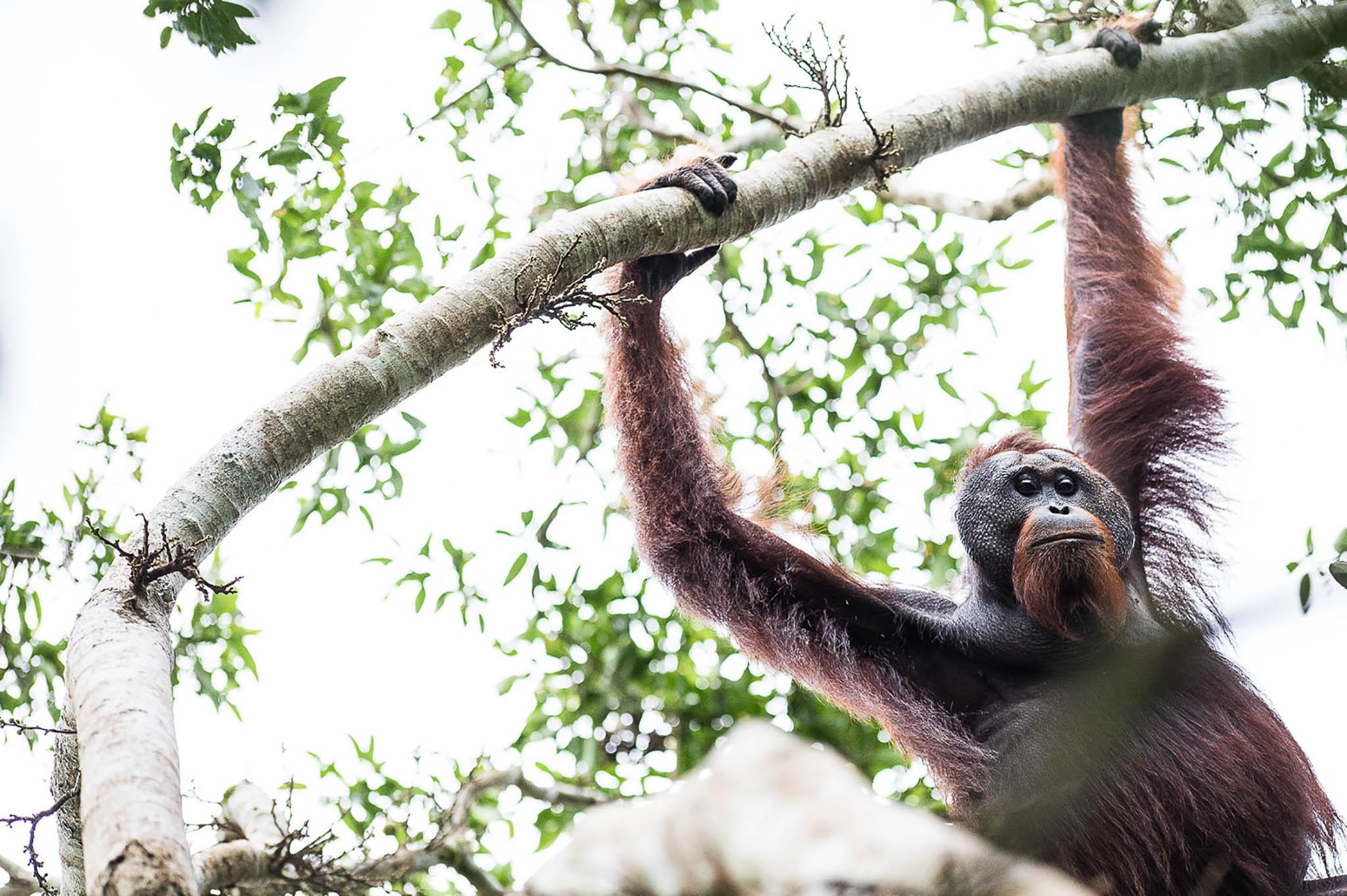 Sikke en flot fyr. Ud over at det var en helt fantastisk oplevelse at vise min datter på 8 år en vild orangutang på nærmeste hold, så var det også en fornøjelse at være tæt nok på til rent faktisk at kunne fotografere ham under nogenlunde fornuftige forhold (billede 1)