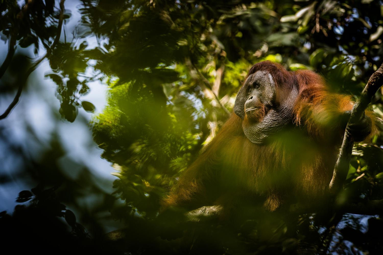 "Førsteplads i kategorien ""Pattedyr"". Orangutang-han fra Borneo. (Foto: Brian Rasmussen)."